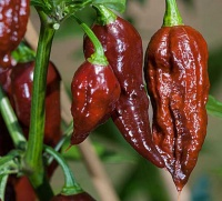 Bhut-jolokia-chocolate